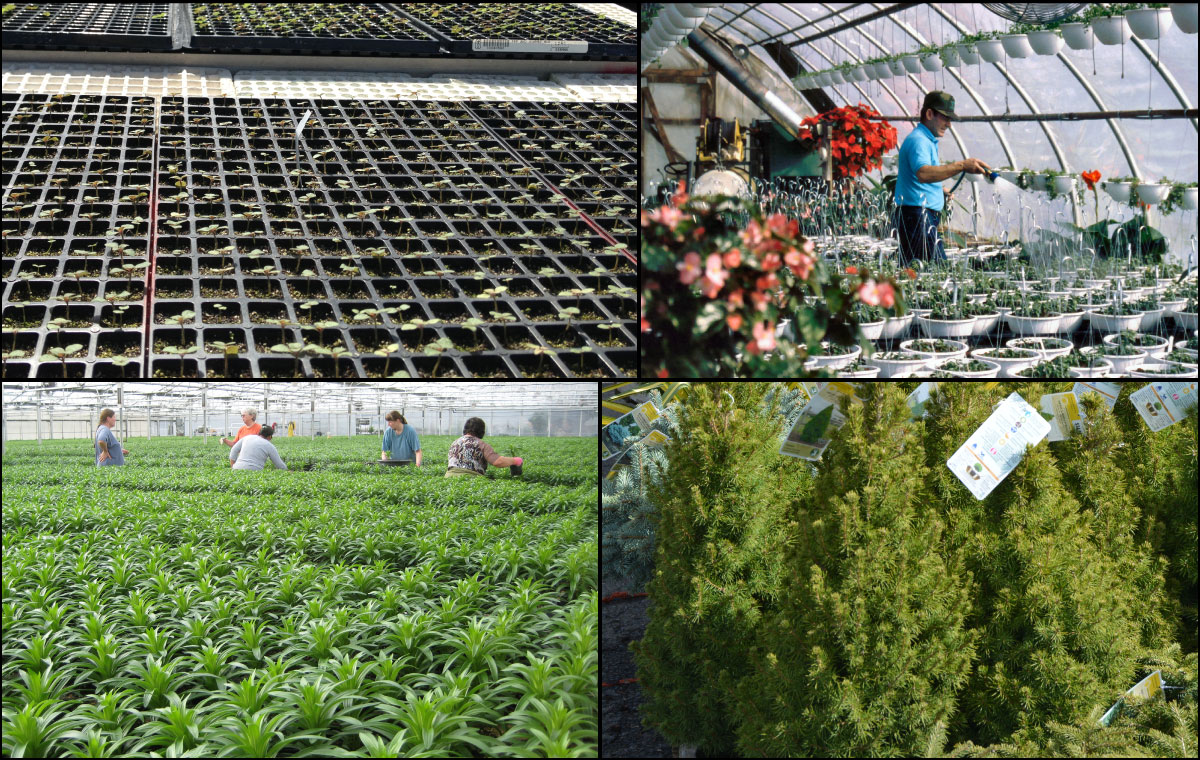 This image comprises four individual pictures. From the upper left going clockwise: A close-up of young plant trays, a man watering flowers in a nursery, young trees at a greenhouse, and greenhouse workers surrounded by lillies.