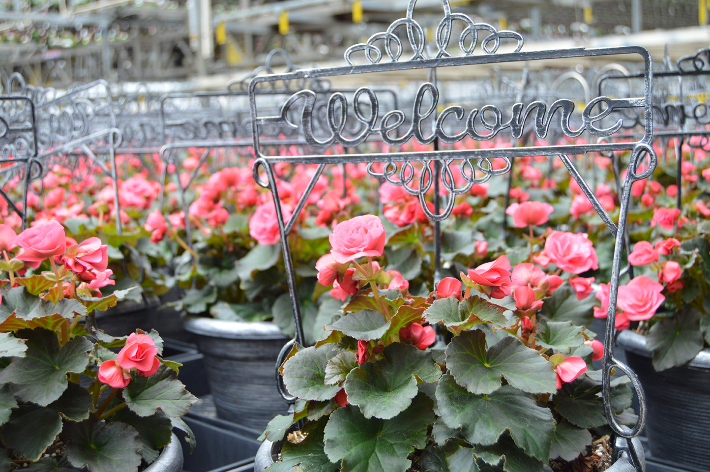 This image shows a close-up of rows of flower pots with pink flowers and the word